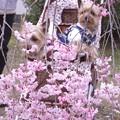 Photos: 枝垂れ桜と共に 1