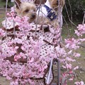 Photos: 枝垂れ桜と共に 2