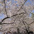 Photos: ポトマック河畔の桜