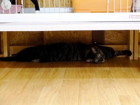 シャー「ケージ棚の横幅、90cmです」