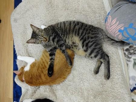 チェリー「マロンちゃんが枕なの」