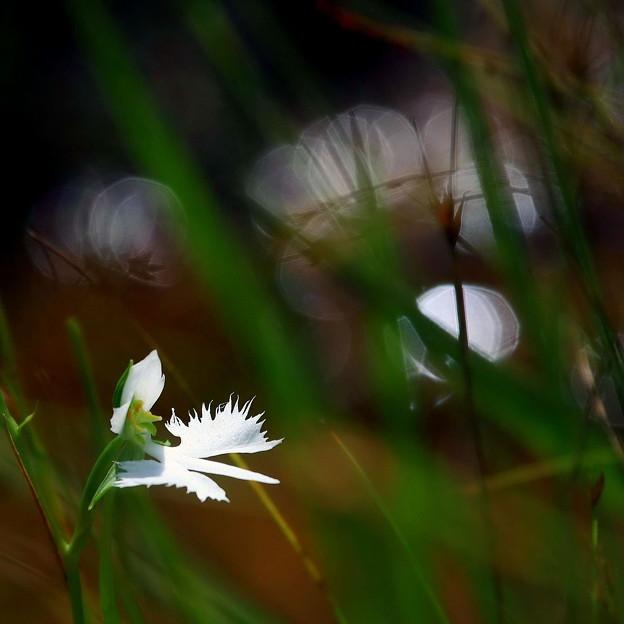 岡山市龍泉寺のサギ草 ♪