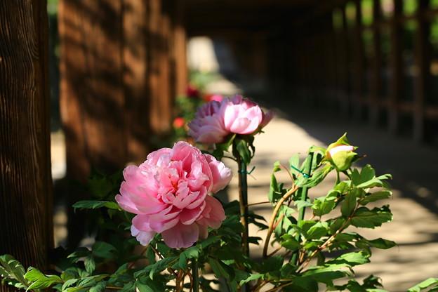 回廊と牡丹、吉備津神社で ♪