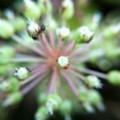 ウドの花と蟻さん