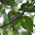 写真: エナガ幼鳥 (3)