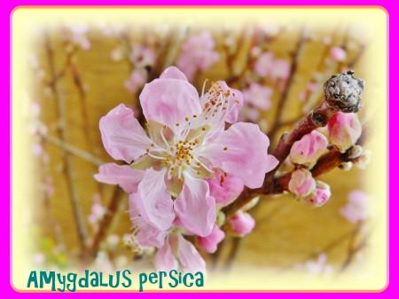 早咲きの桃