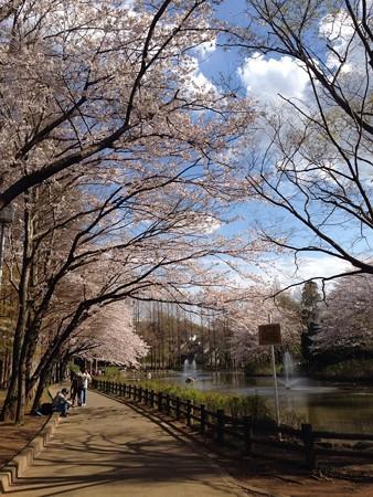 近くの公園の桜です3