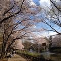 写真: 近くの公園の桜です3