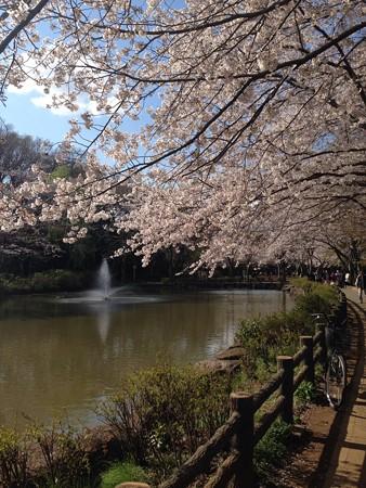 近くの公園の桜です4