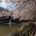 写真: 近くの公園の桜です4