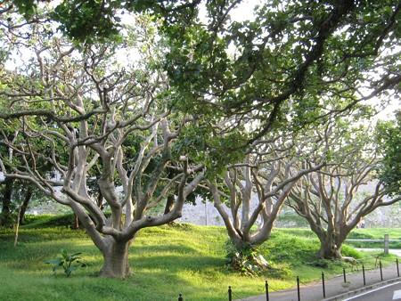 沖縄 首里 がじゅまる 20071115