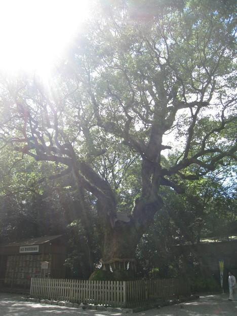 熱田神宮15 光の中の空海手植えの大楠