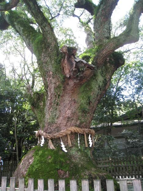熱田神宮16 千年の大楠