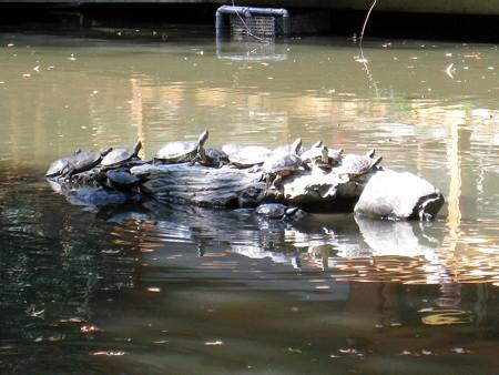 熱田神宮24 亀石の上に鈴なりの亀