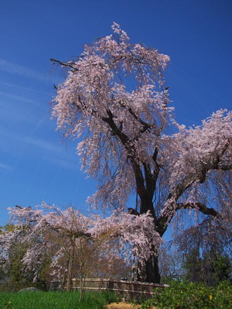 写真: 円山公園 一重白彼岸枝垂桜