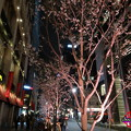 日本橋の桜並木