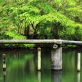 Photos: 新緑の川面に
