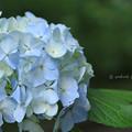Lightblue Hydrangea flower of June.