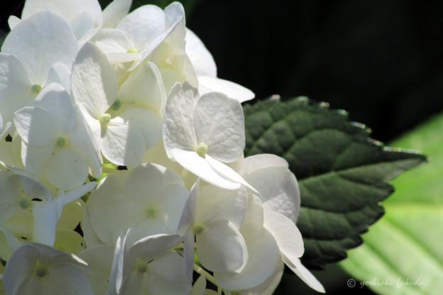 White Hydrangea flower of June.