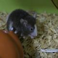 Photos: パンダマウス