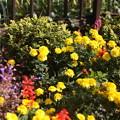 写真: 11月の花壇