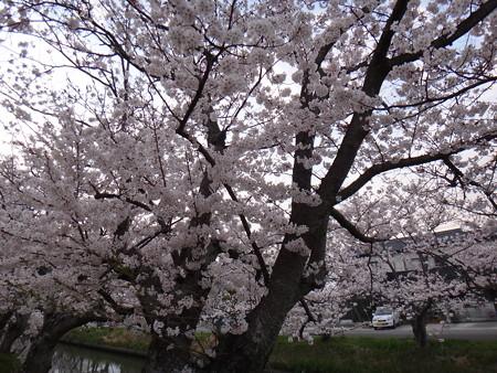 13 桜満開 (3)