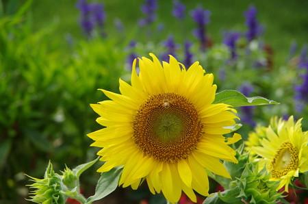 向日葵と蜜蜂 (1)