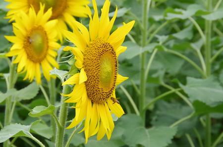 向日葵で蜜集め