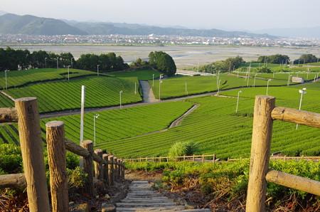茶畑の緑が綺麗 (1)