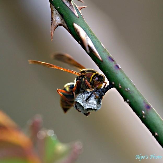 バラの枝に巣を作るアシナガバチ