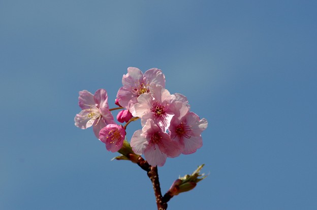 一本桜 #5