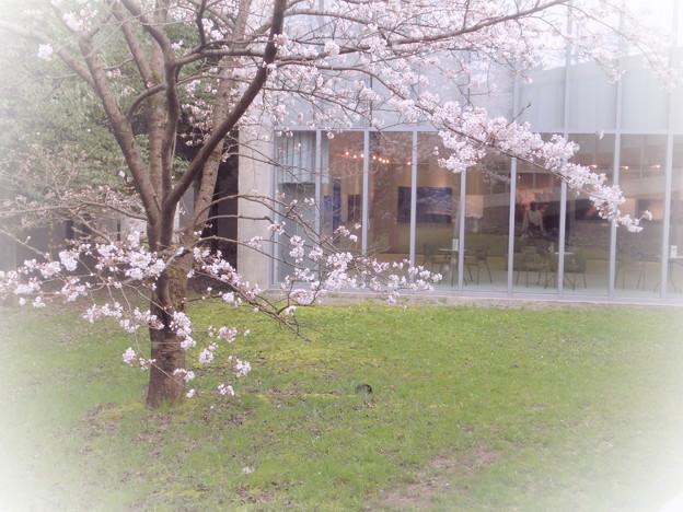 桜の花の咲く写真館