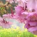写真: 桜も花見~☆