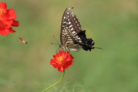 2012.08.28 浜離宮 キバナコスモスにアゲハチョウとミツバチ