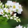 Photos: 2012.09.27 和泉川 シャクチリソバに蟻