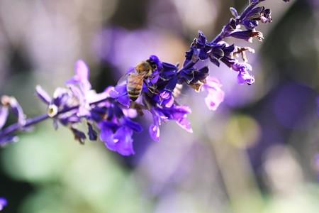 2012.10.10 和泉川 ブルーサルビアにミツバチ