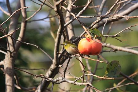 2012.11.15 和泉川 柿とメジロ