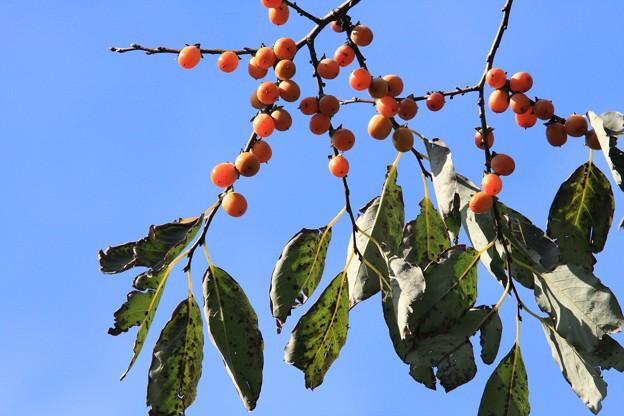 2012.11.12 和泉川 浙江柿