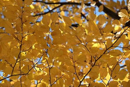 2012.11.22 新潟 公園の立木の黄葉