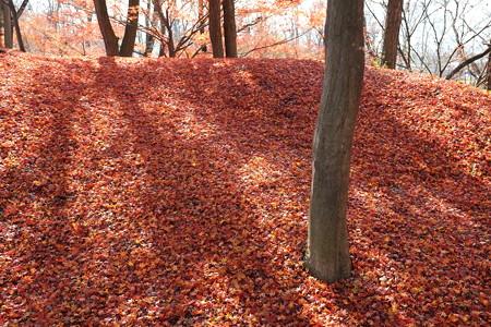 2012.11.28 安曇野 大王わさび農場 紅葉の絨毯