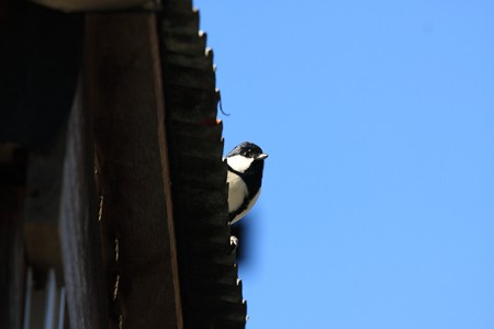 2012.12.11 和泉川 シジュウカラ