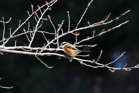 2012.12.24 和泉川 サクラにモズ