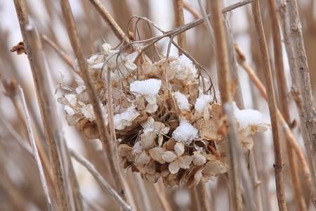 2013.02.20 和泉川 雪とアジサイ