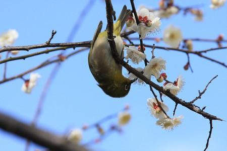 2013.02.21 和泉川 ウメにメジロ 花蜜