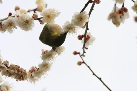 2013.03.01 和泉川 ウメにメジロ チェーン