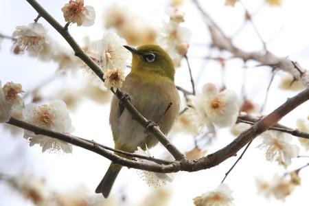 2013.03.01 和泉川 ウメにメジロ