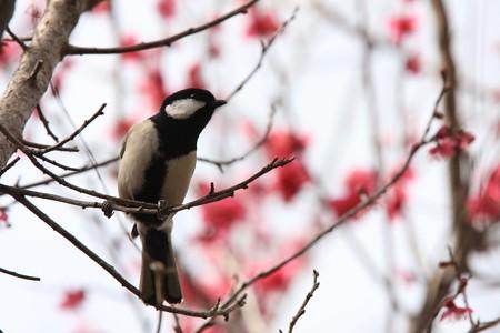 2013.03.01 和泉川 紅梅を背景にシジュウカラ