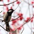 Photos: 2013.03.01 和泉川 紅梅を背景にシジュウカラ