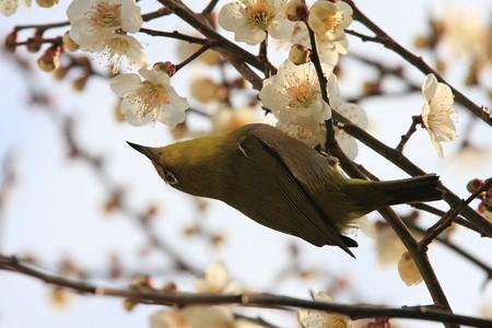 2013.03.04 和泉川 ウメにメジロ 花粉