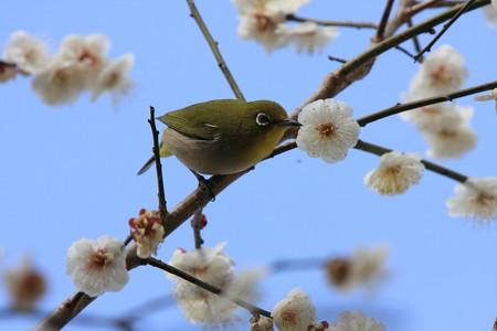 2013.03.04 和泉川 ウメにメジロ 無心